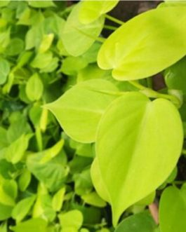 Philodendron Oxycardium Golden (pot)