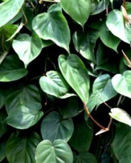 Philodendron Oxycardium Green (pot)