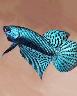 Wild alien betta fish breeding pair- fighter fish