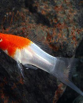 Kohaku swordtail fish pair
