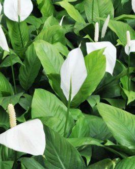 Peace lily (single plant)