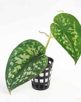 Satin Pothos/ Scindapsus Pictus (pot)